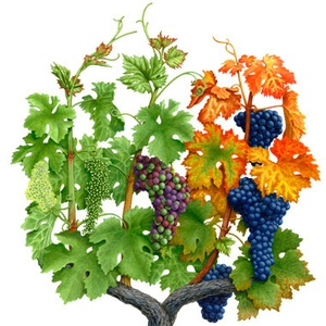 Saisons-de-la-vigne_Seasons-of-the-Vine