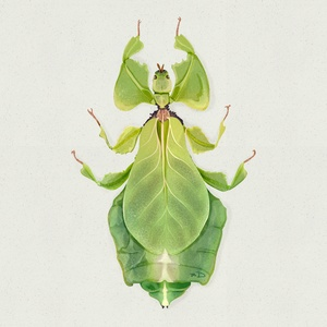 Illustration d'insecte - le phyllie